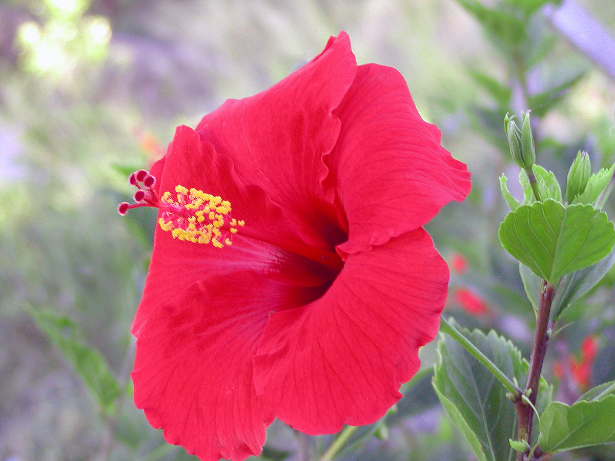 Kona hula girl hawaii vacations rentals general info red hibiscus red hibiscus izmirmasajfo Gallery